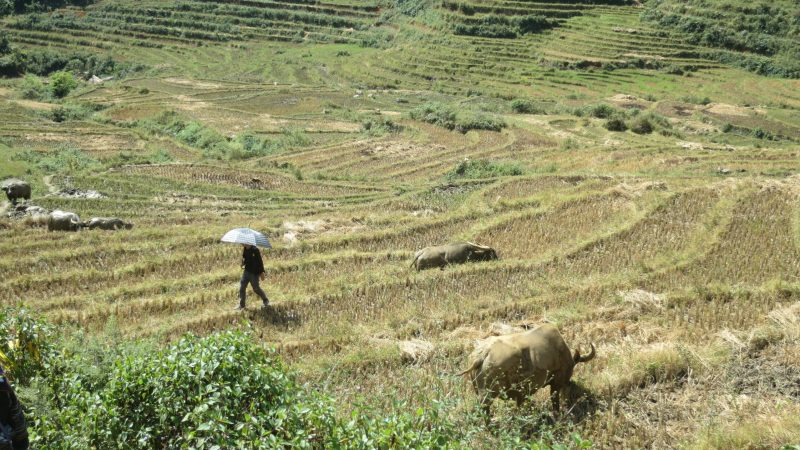 Sapa Vietname rice field